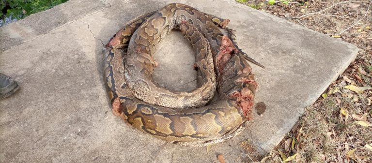 A giant python met its untimely death in Fieve
